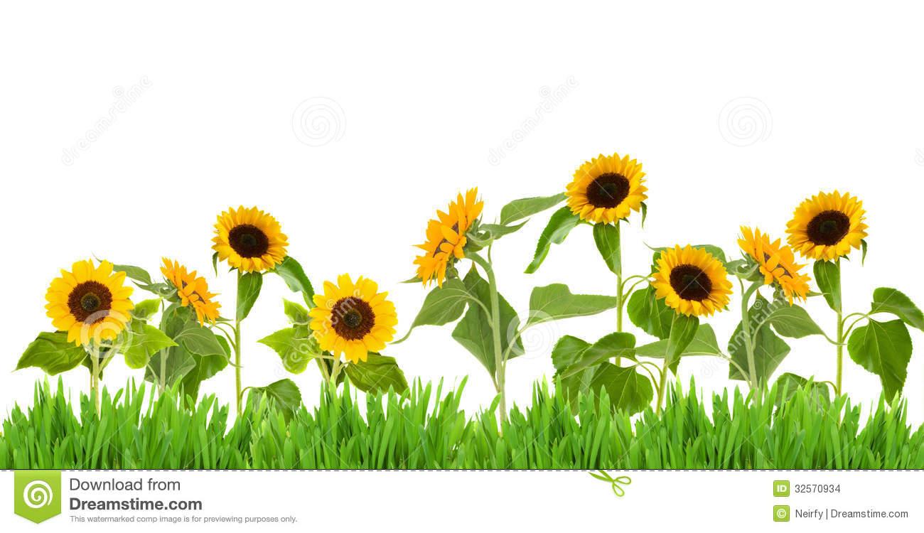 Sunflower Field Clipart.