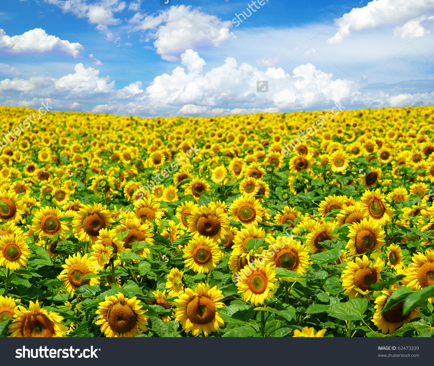 Field of sunflowers clipart 20 free Cliparts | Download ...