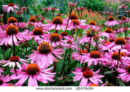 Echinacea Flower Stock Photos, Royalty.