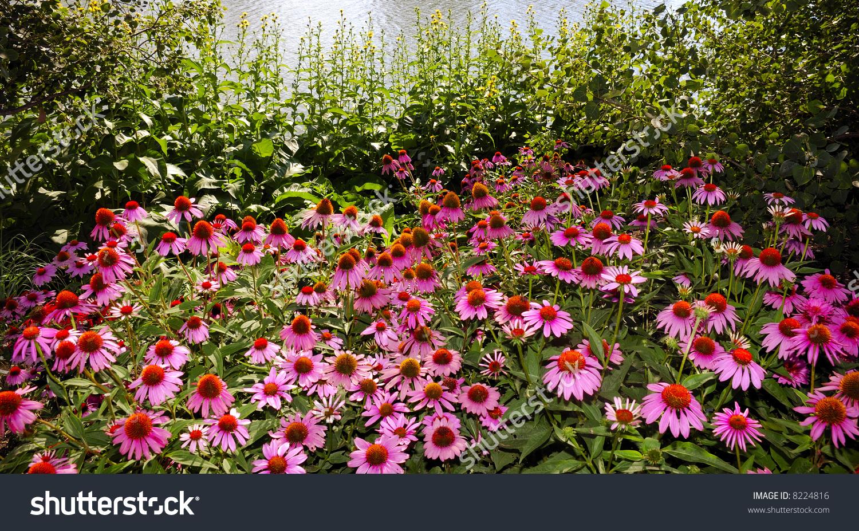 Echinacea Flowers Stock Photo 8224816 : Shutterstock.
