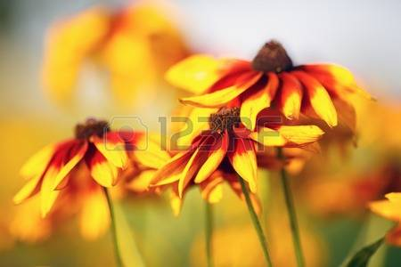 Yellow Echinacea Stock Photos & Pictures. Royalty Free Yellow.