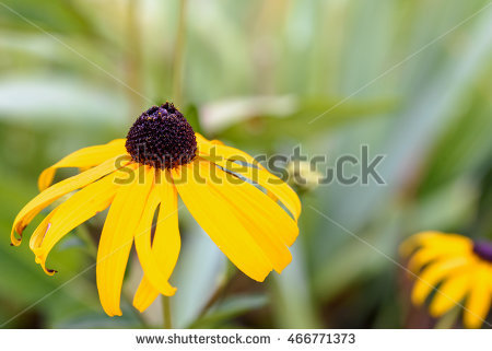 Yellow Coneflower Stock Photos, Royalty.