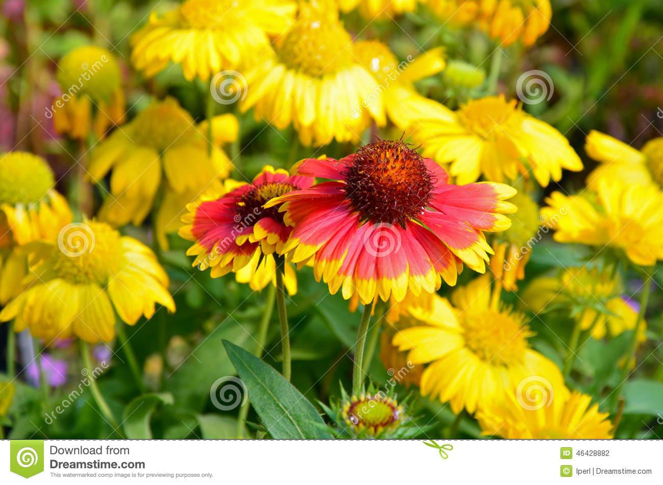 Orange And Yellow Coneflowers Stock Photo.