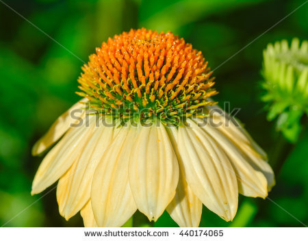 "red Echinacea"" Stock Photos, Royalty."