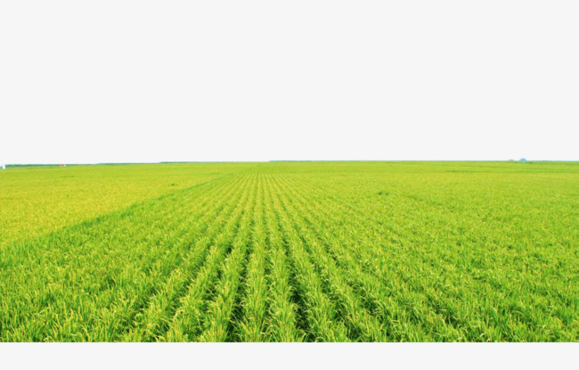 Green Rice Fields, Rice Clipart, Paddy, #63936.