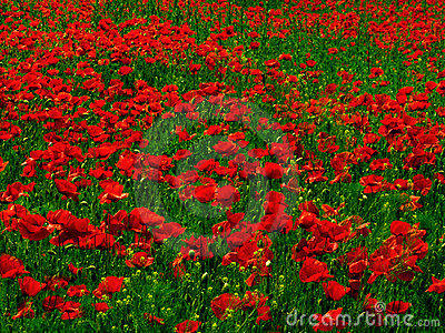 Poppy Fields Stock Photos, Images, & Pictures.