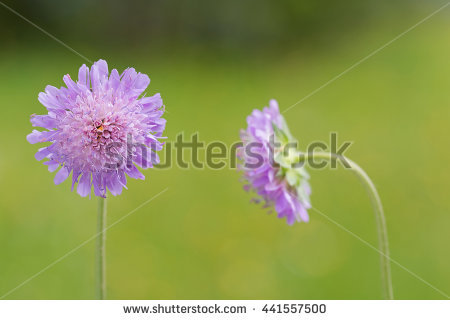 Meadow Scabious Stock Photos, Royalty.