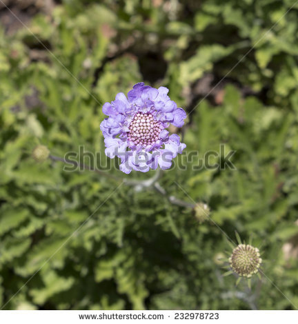 Scabiosa Columbaria Stock Images, Royalty.