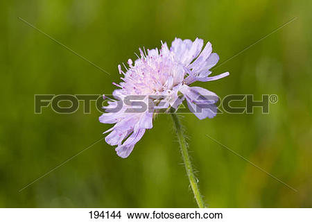 Stock Photo of Field Scabious, Blue Buttons (Knautia arvensis.