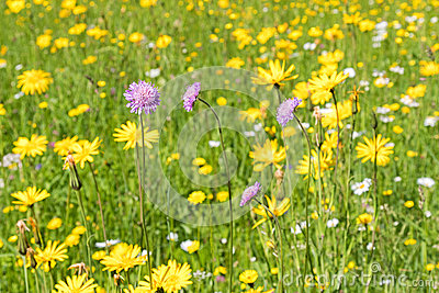Field Scabious Flower Blossoming In The Yellow Green Meadow Surr.