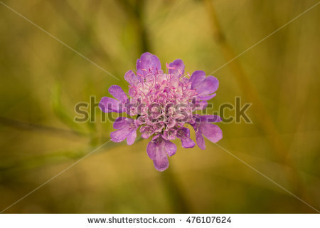 Scabious Stock Photos, Royalty.
