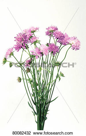 Stock Photo of DEU, 2003: Field Scabious, Blue Buttons (Knautia.