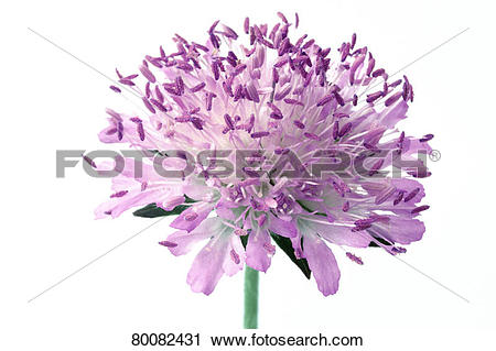 Stock Photography of DEU, 2003: Field Scabious, Blue Buttons.