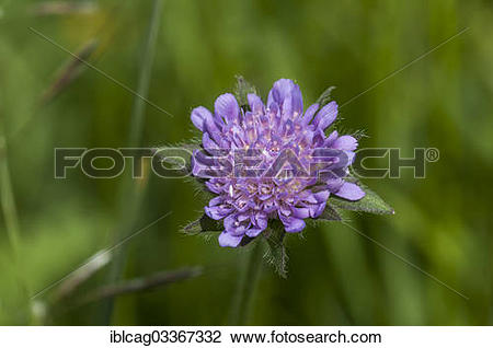 "Stock Photo of ""Blossoming Field Scabious (Knautia arvensis."
