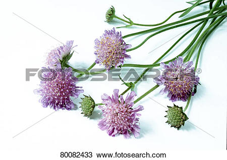 Stock Photo of DEU, 2004: Field Scabious, Blue Buttons (Knautia.