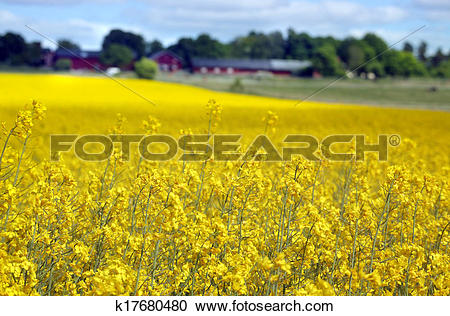 Stock Photography of yellow field with oil seed rape in early.