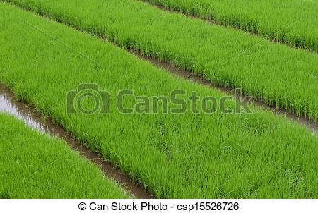 Stock Photo of Green rice fields. This where the of rice plants.