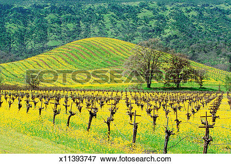 Picture of USA, California, Napa Valley, Mustard Seed Vineyard.