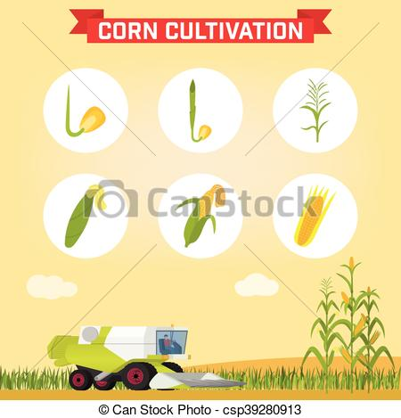 Vector Clip Art of Infographics the growing corn. Growth stages.