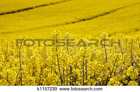 Stock Photograph of yellow field with oil seed rape in early.