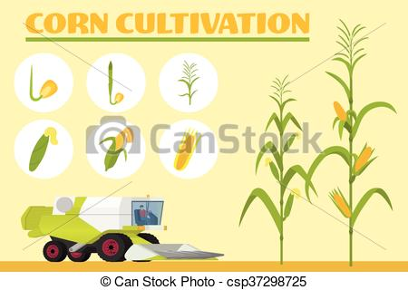 Vector Illustration of Infographics the growing corn. Growth.