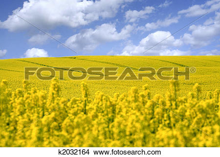 Stock Photo of yellow field with oil seed rape in early spring.
