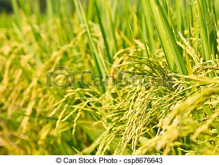 Stock Photos of Rice plant panicle closeup.
