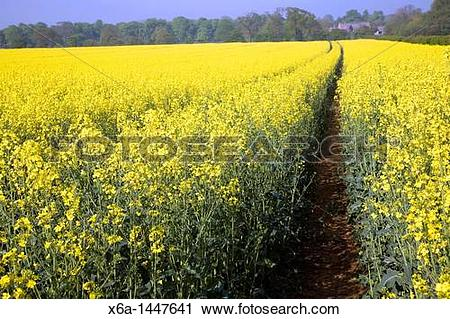 Stock Photography of Yellow blossom of oil seed rape crop growing.