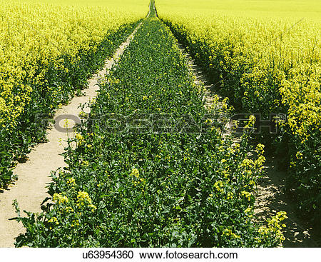 Stock Photography of Road through field of yellow flowering.