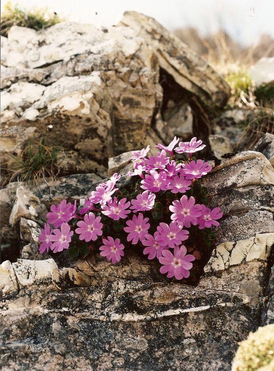 PRIMULA TYROLENSIS (Primula tirolese. Südtiroler Primel. Primevère.