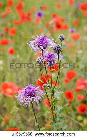 Pictures of Field of poppies and thistles u13579568.
