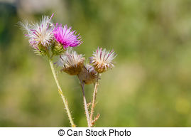 Stock Images of Field with thistle.