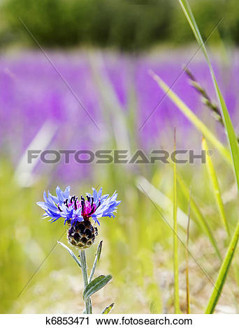 Stock Photography of Turkish Thistle in a field of wild lavender.