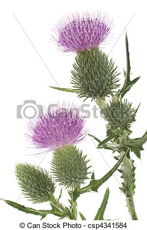 Field thistle Stock Photo Images. 1,389 Field thistle royalty free.