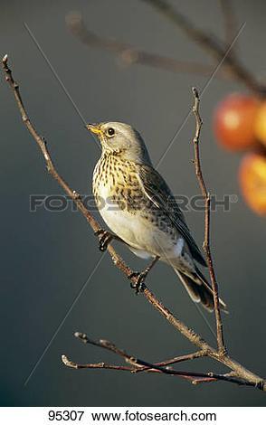 Picture of Fieldfare on a branch / Turdus pilaris 95307.