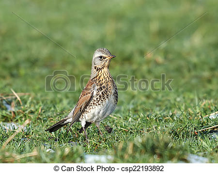 Stock Photographs of Fieldfare (Turdus pilaris).