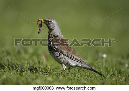 Stock Photo of Germany, Munich, Close up of fieldfare carrying.