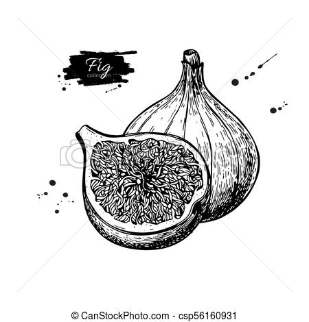 Fig vector drawing. Hand drawn fruit and sliced piece. Summer fo.