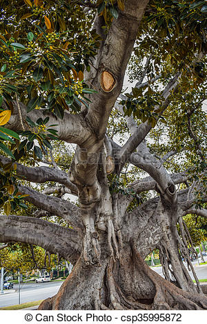 Picture of Old Moreton Bay Fig Ficus has liter.