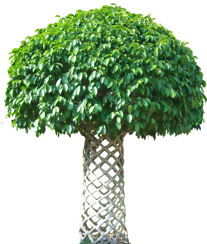 Fig Plant Clipart.