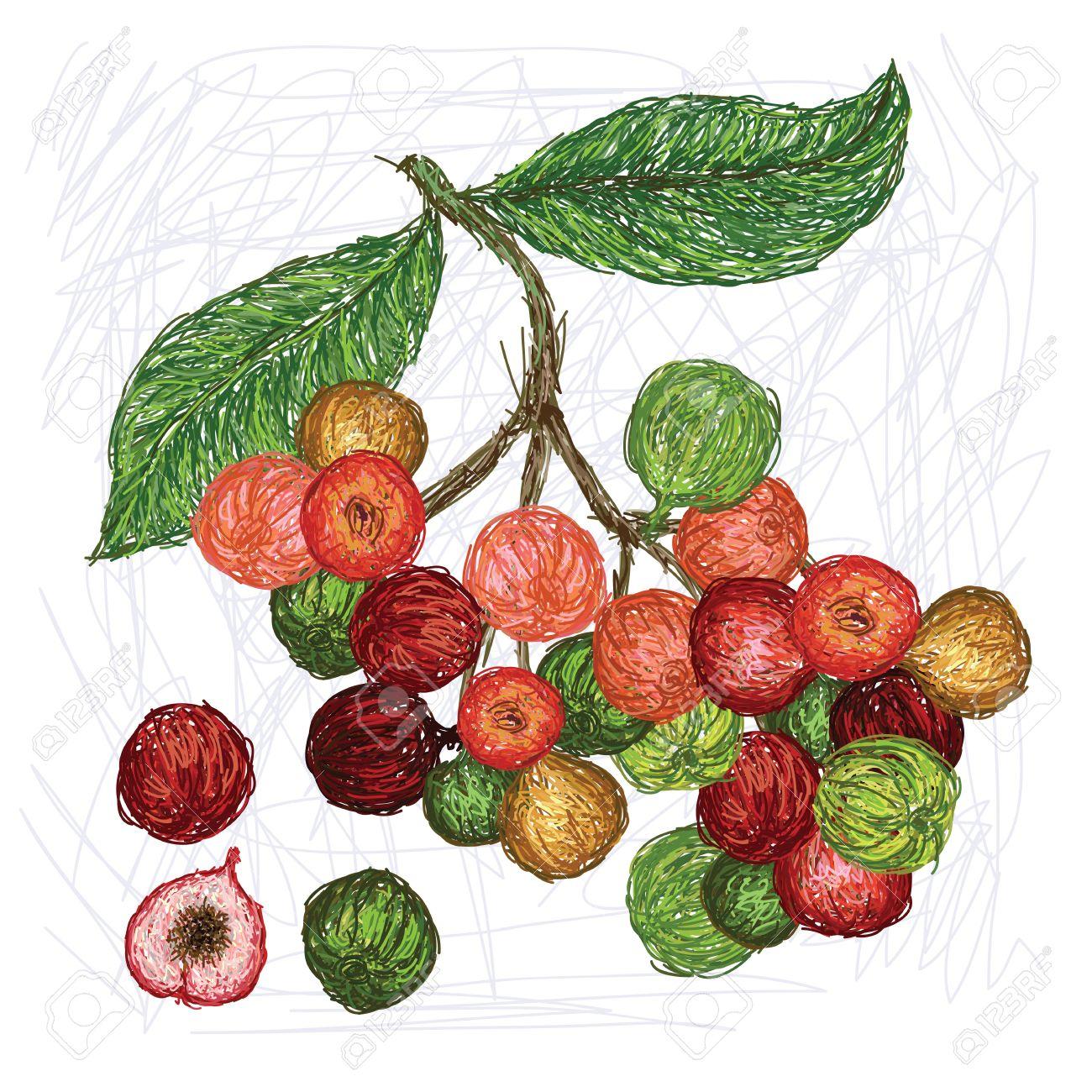 Unique Style Illustration Of Cluster Fig Scientific Name Ficus.