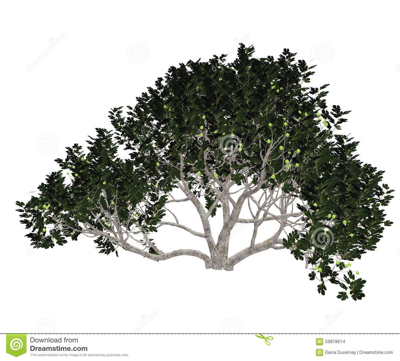 Fig Tree Stock Illustrations.