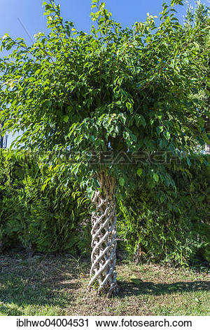 """Stock Photography of """"Weeping Fig (Ficus benjamina), braided."""
