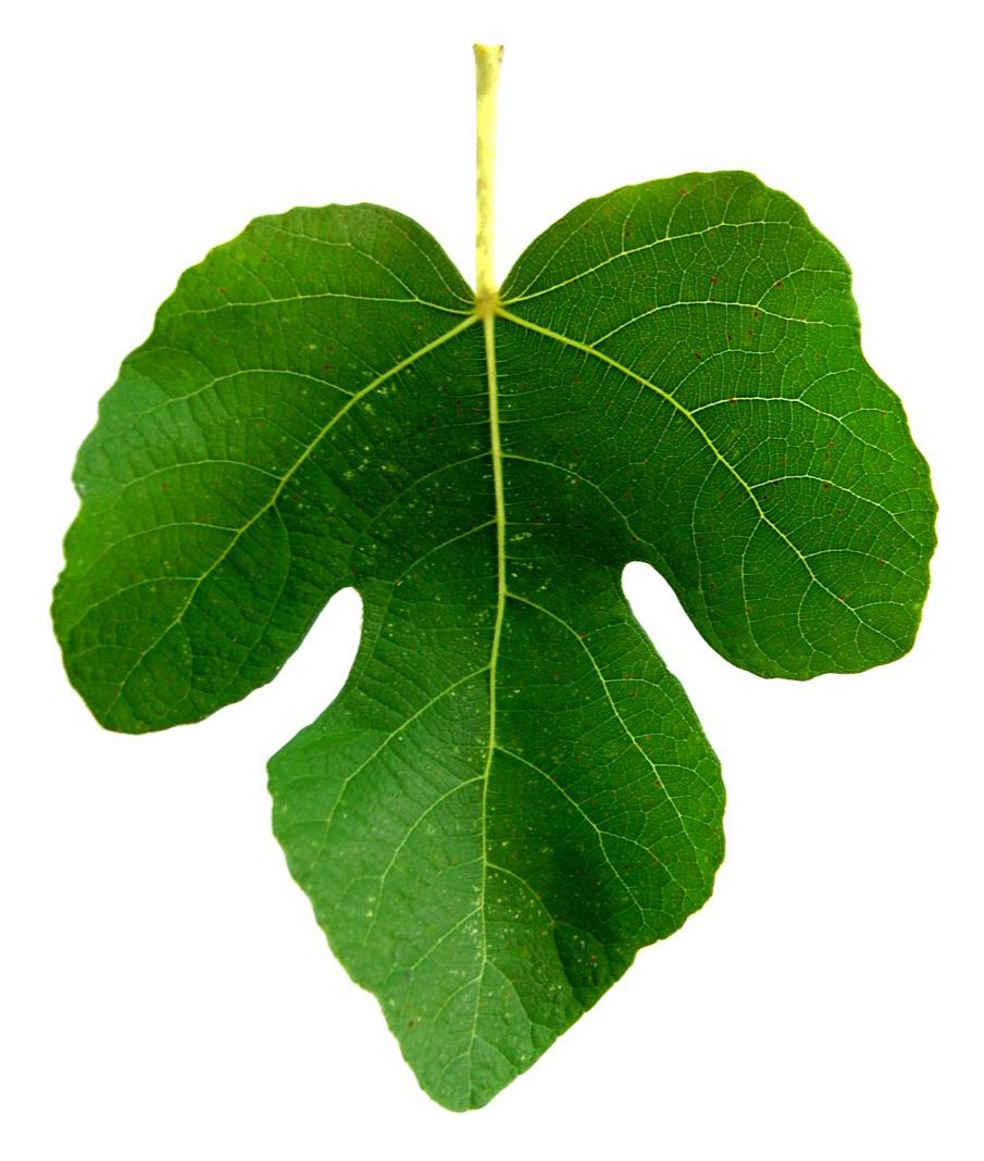 Fig Leaf Drawing.