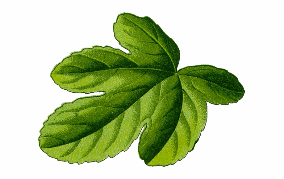 Fig Leaf Illustration.