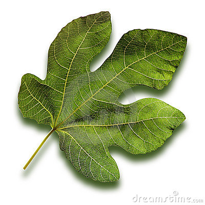Fig Leaf Stock Photos, Images, & Pictures.