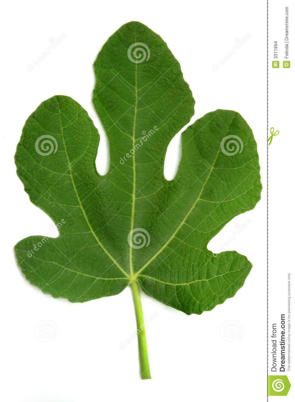 Fig Leaf #jnfc6j.