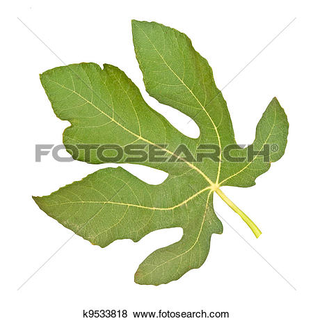 Pictures of Fig leaf isolated on white background k9533818.