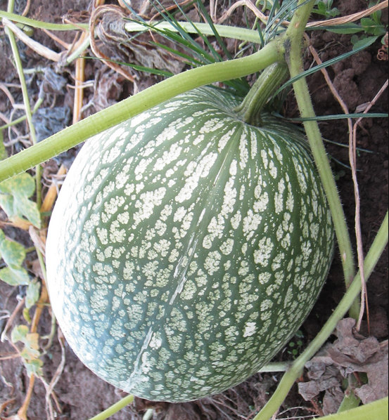 10 Seeds Shark Fin Melon Chilacayote Fig Leaved by BmoreSpicy.