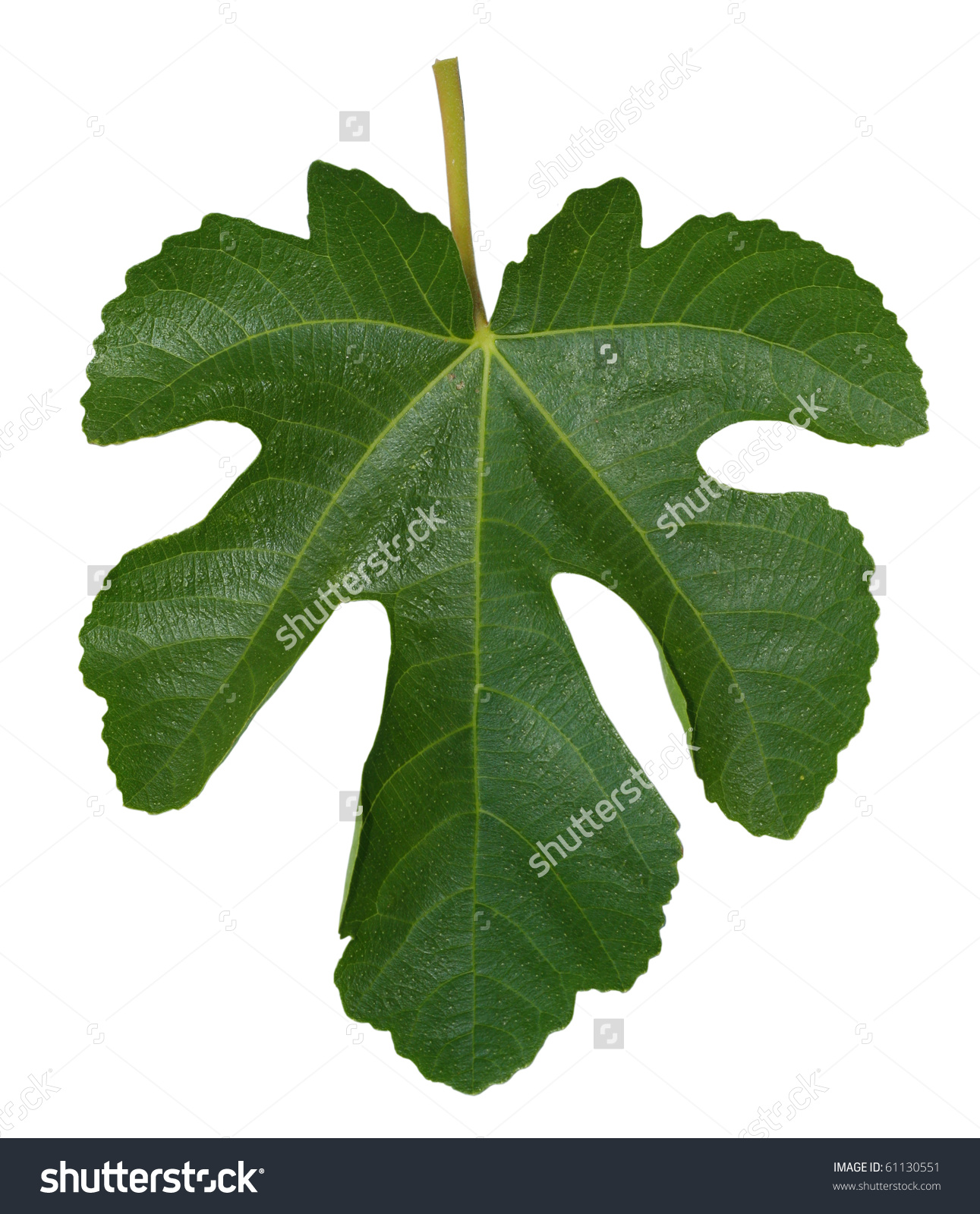 Fig Leaf Isolated On White Background Stock Photo 61130551.